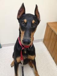 Adopt Drew Adopted On Doberman Pinscher Dog Doberman