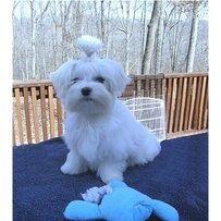 Potty Trained Maltese Puppies For Free Adoption Malteser Bilder