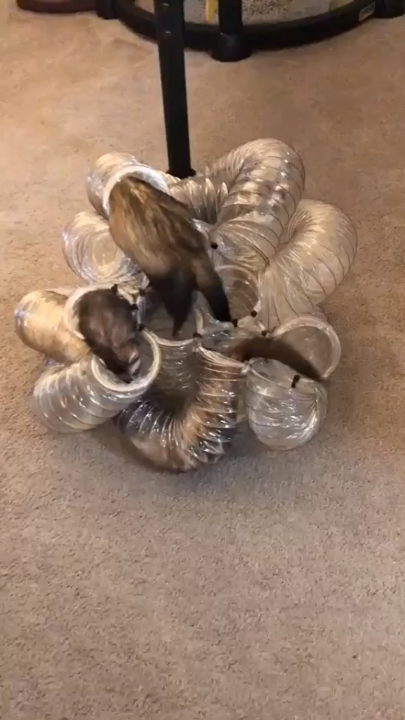 We created the ultimate ferret tunnel ball!