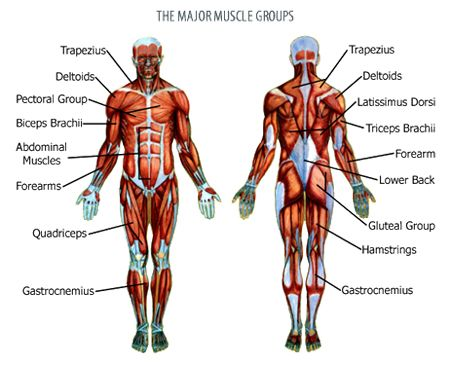 human muscle groups and exercises – onehotbitch, Muscles