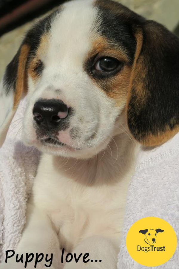 This Beagle Puppy Nugget Has Already Found His Forever Home To