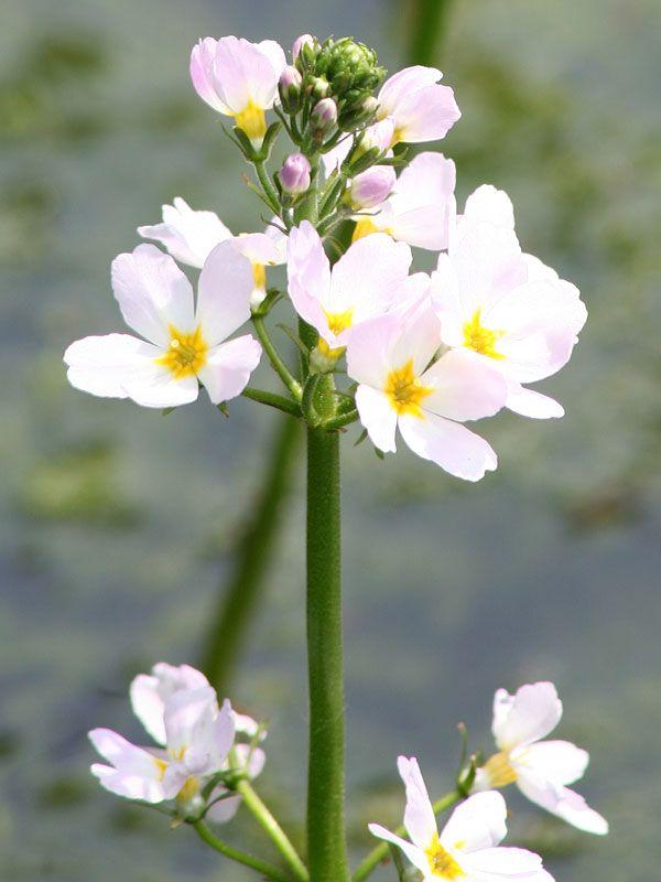 Water Violet Flores