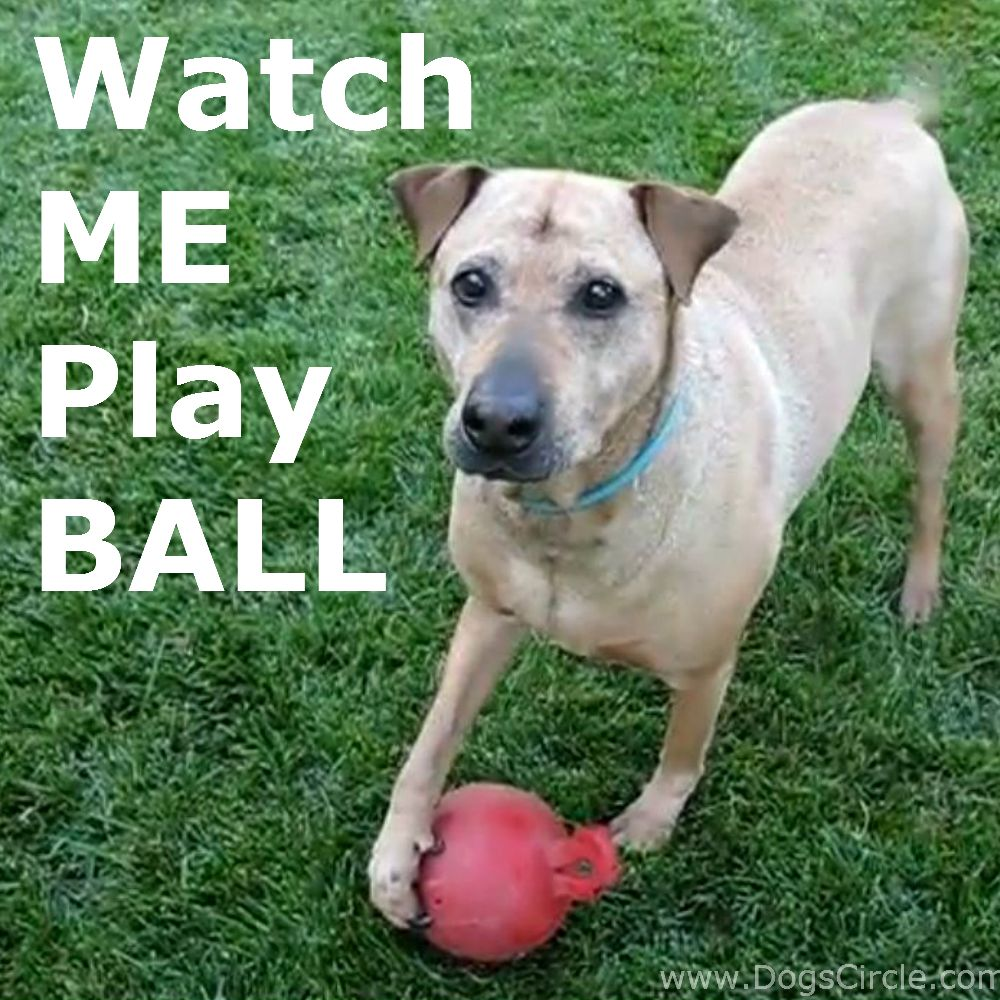 Rhodesian Ridgeback Shar Pei Mixed Breed Dog Playing Ball In The