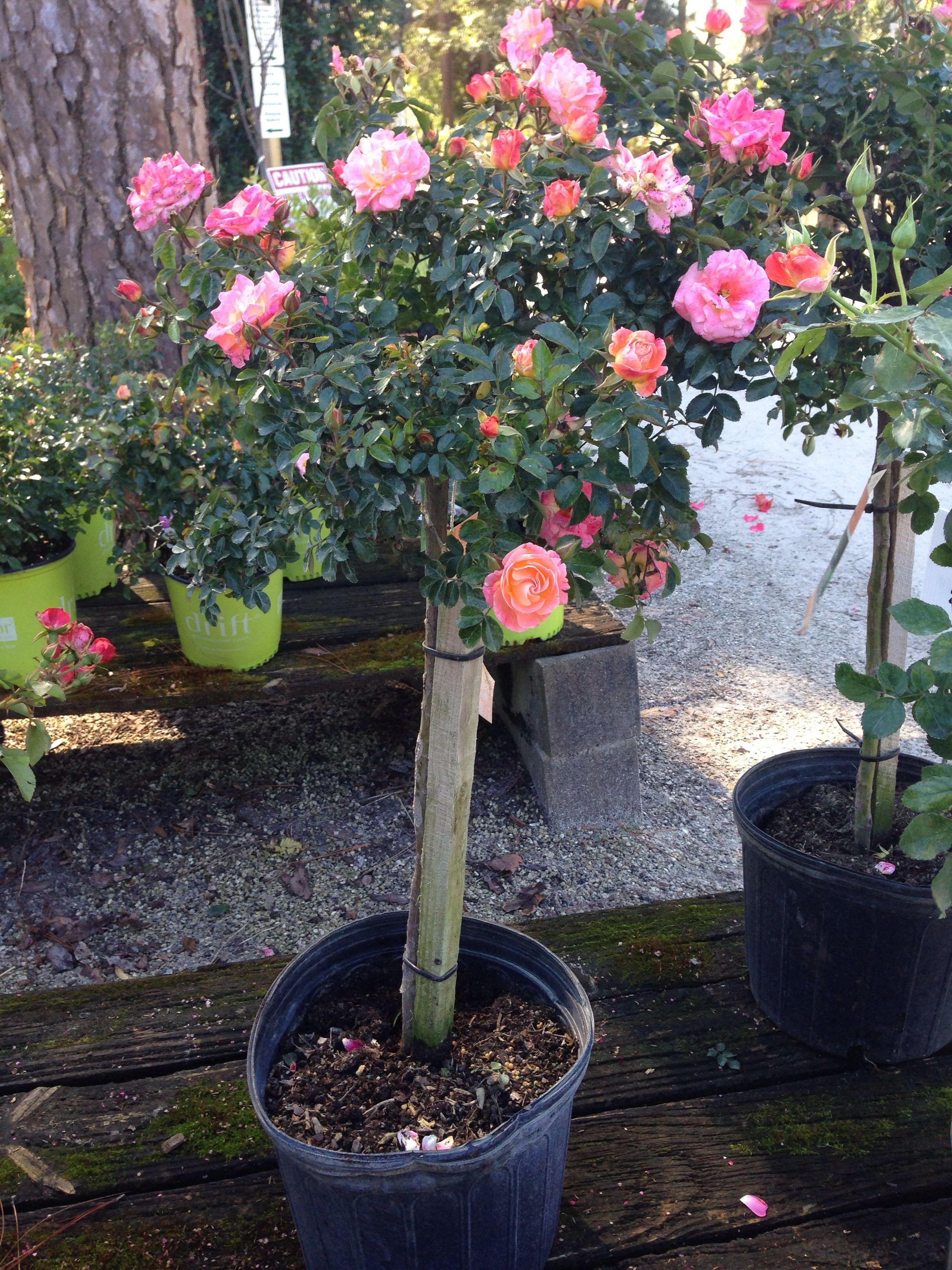 Drift Rose Tree Coral Bob Wines Camellia Gardens Ocala Fl With