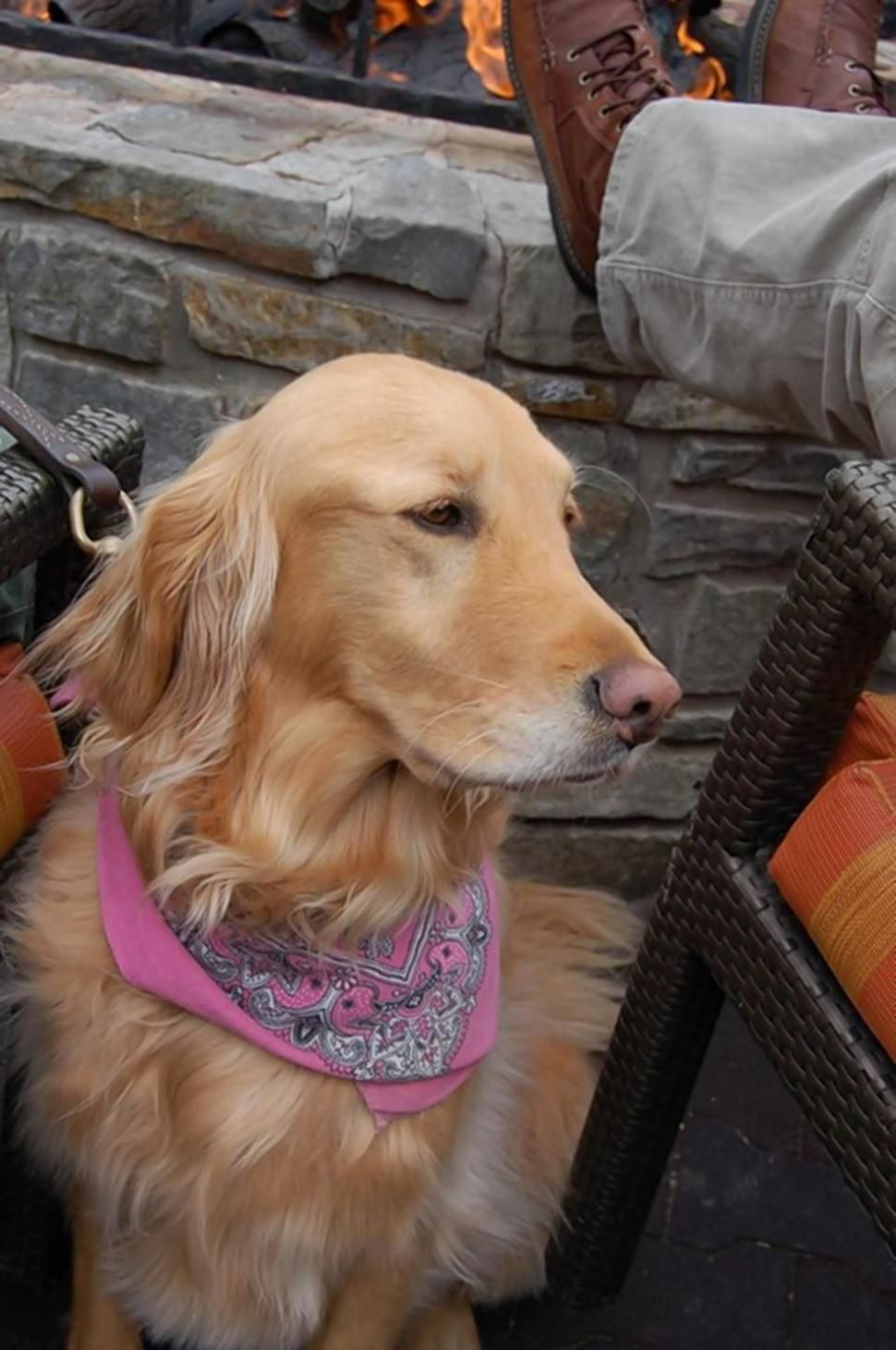 Calif Golden Retriever Missing For Nearly Two Years Is Back With Her Family Golden Retriever Retriever Losing A Dog