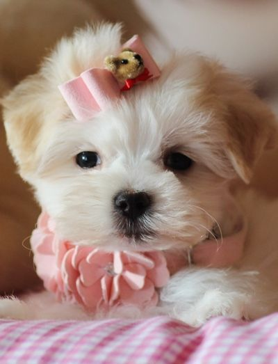 Teacup maltese puppies for Sale Florida Maltese puppy