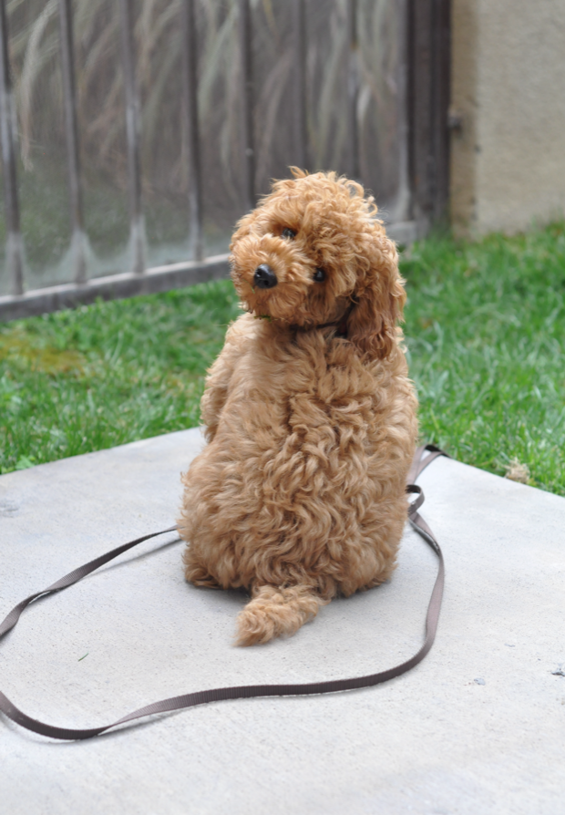 Noodle Dog Google Search Puppies Poodle Puppy Cutest Dog Ever
