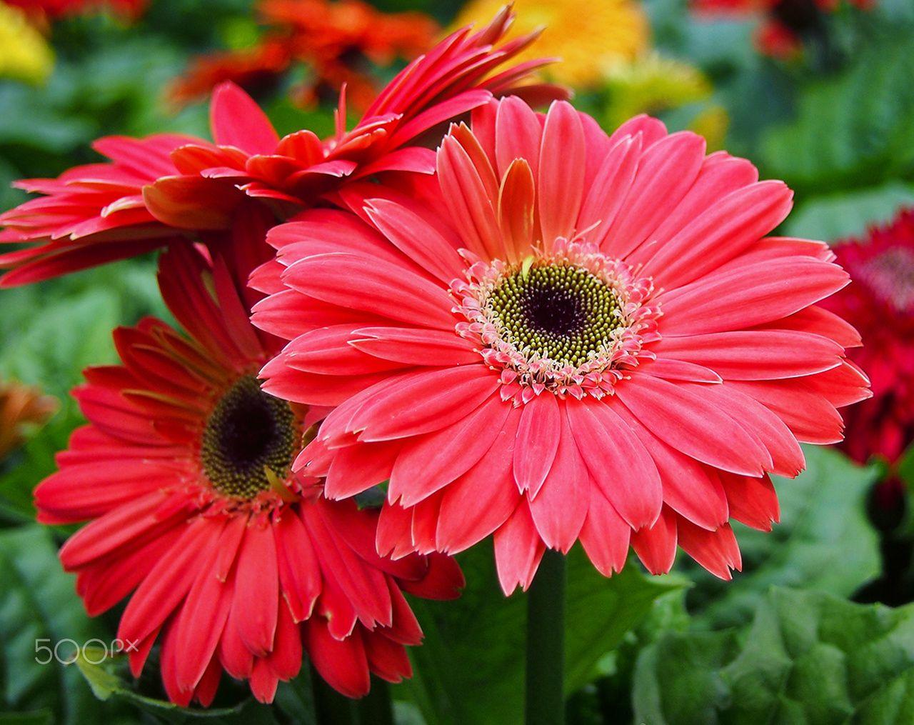 Red daisy flower olympus digital camera papatya gerbera red daisy flower olympus digital camera izmirmasajfo