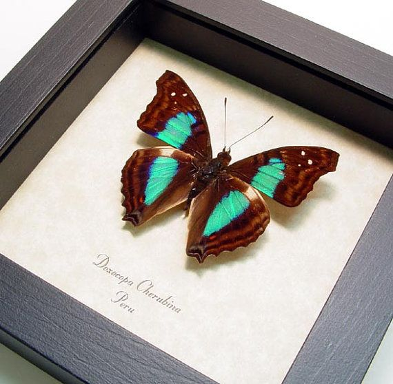 Framed Butterfly Turquoise Emperor Real by REALBUTTERFLYGIFTS ...