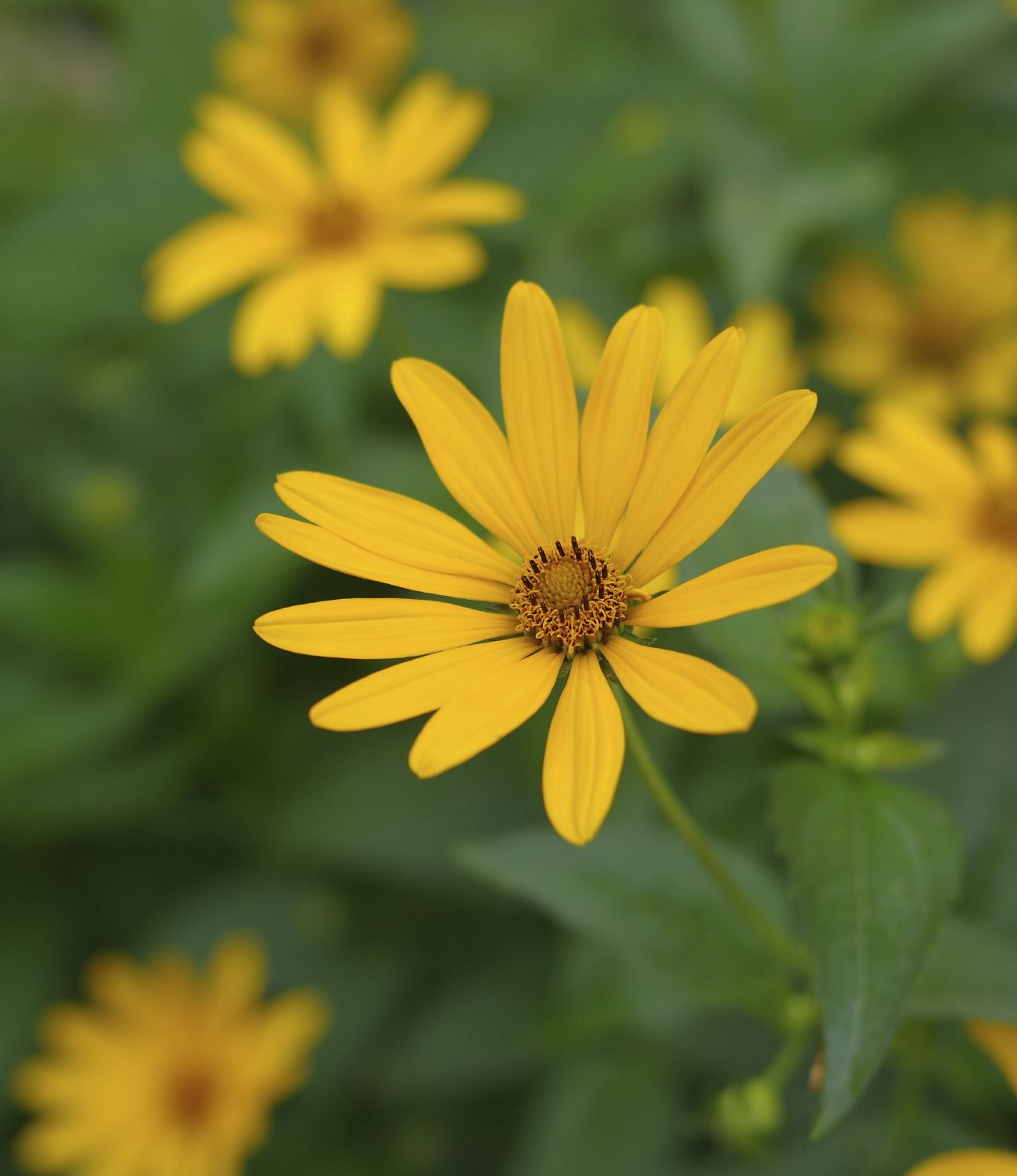 Heliopsis requires very little maintenance, but these impressive plants benefit from regular trimming and cutting back, as false sunflowers reach heights of 3 to 6 feet. Click this article to learn more about false sunflower pruning.