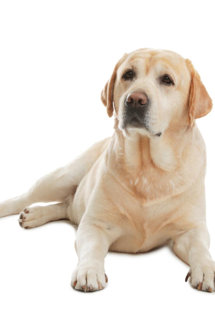 Yellow Labrador Retriever Lying On White Background Labradorretriever Labrador Labrador Retriever Dog Golden Retriever Labrador