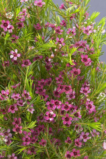 Purple Lady Stephanie Waxflower - Obra Verde Growers 6x8