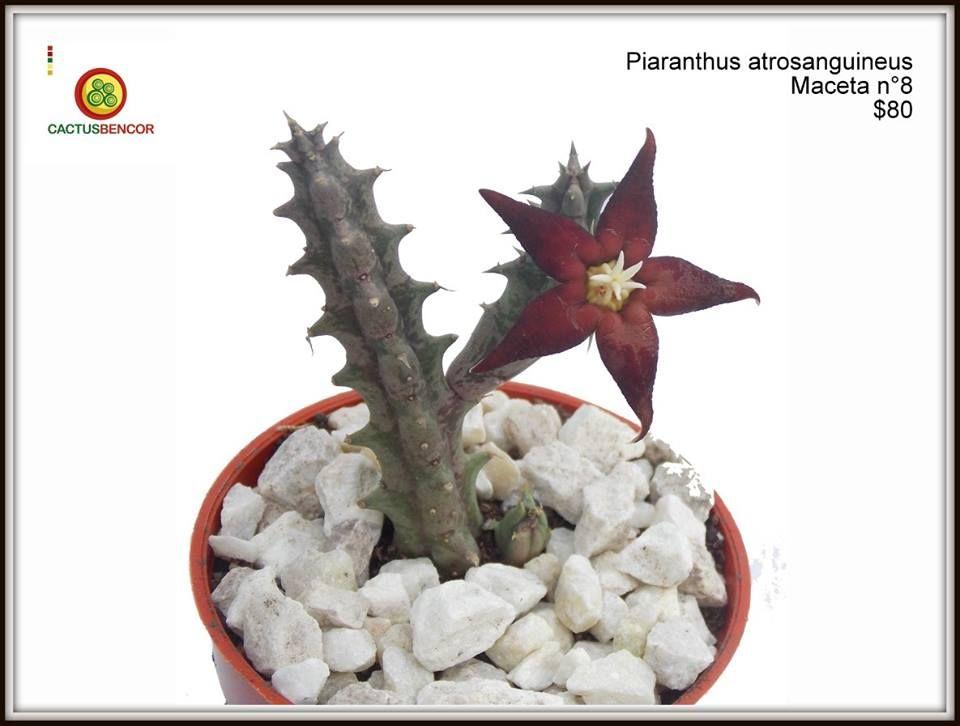 Piaranthus atrosanguineus