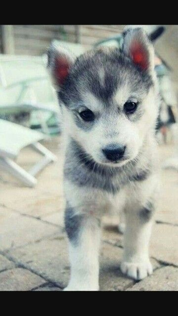 My dream dog..... A Pomsky!