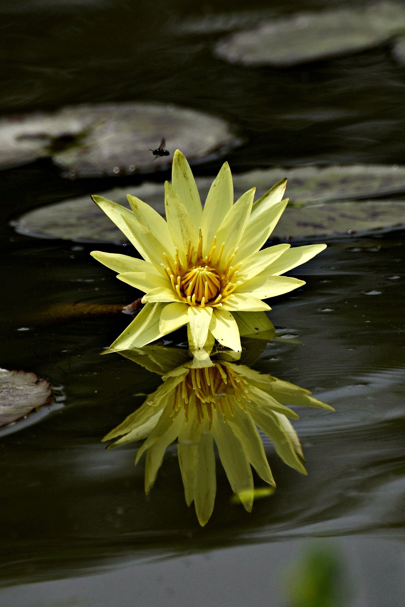 yellow water lily by Bae Myunggyu on 500px Macro