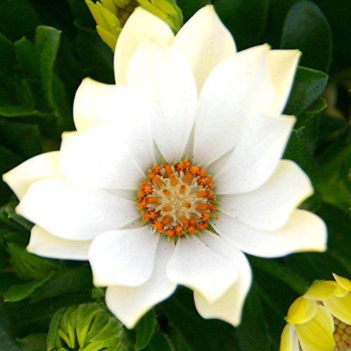 Kapkörbchen weiss - 1 pflanze: Amazon.de: Garten