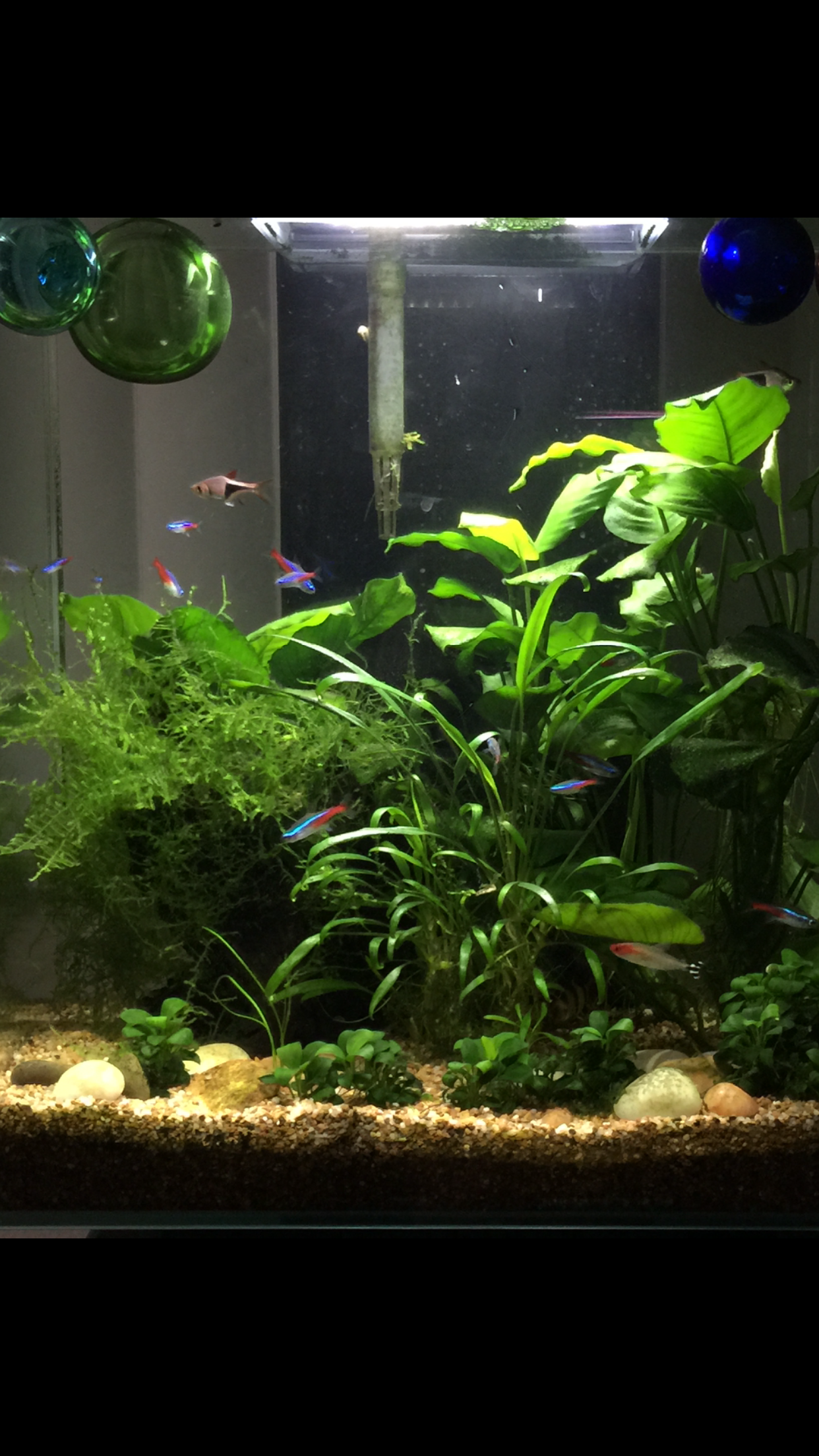 My fresh water planted tank 6 24 15 Connie