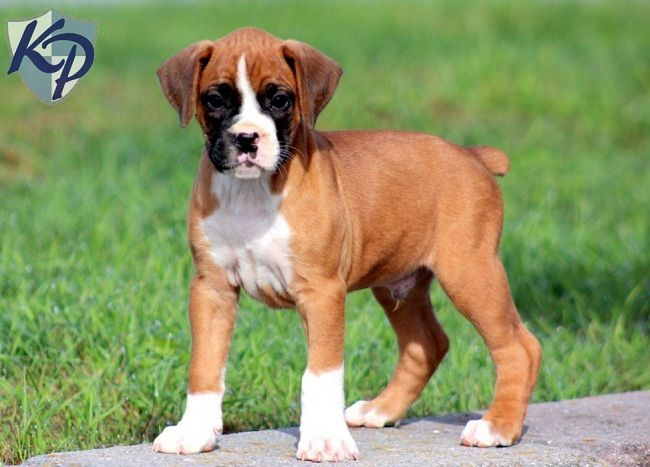 boxer puppies for sale in pa Zoe Fans Blog Boxer mix