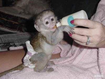 Cute Capuchin monkey - Peru | Peru Wildlife | Cute baby