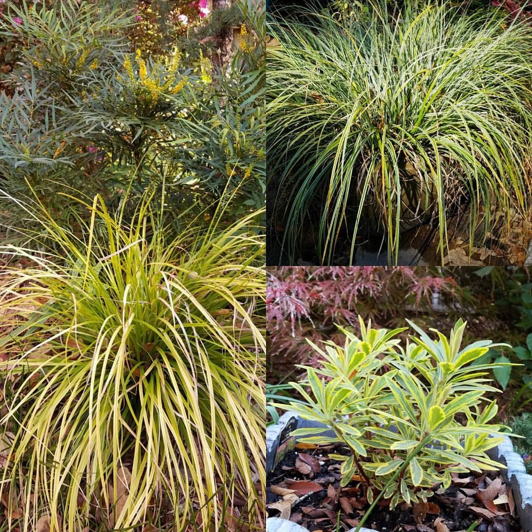 Keith Hansen On Instagram Tony Avent Of Plant Delights Nursery Blogged Today About Carex Everillo I Agree That It S A Fabulous Evergreen Perennial