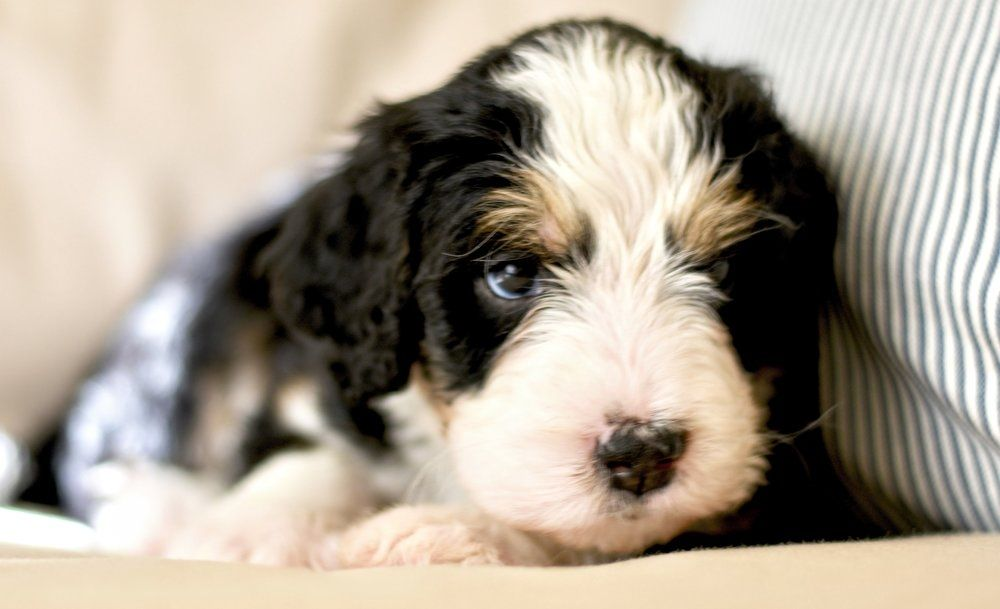 Pin by D Michelson on Makes me smile) Mini bernedoodle