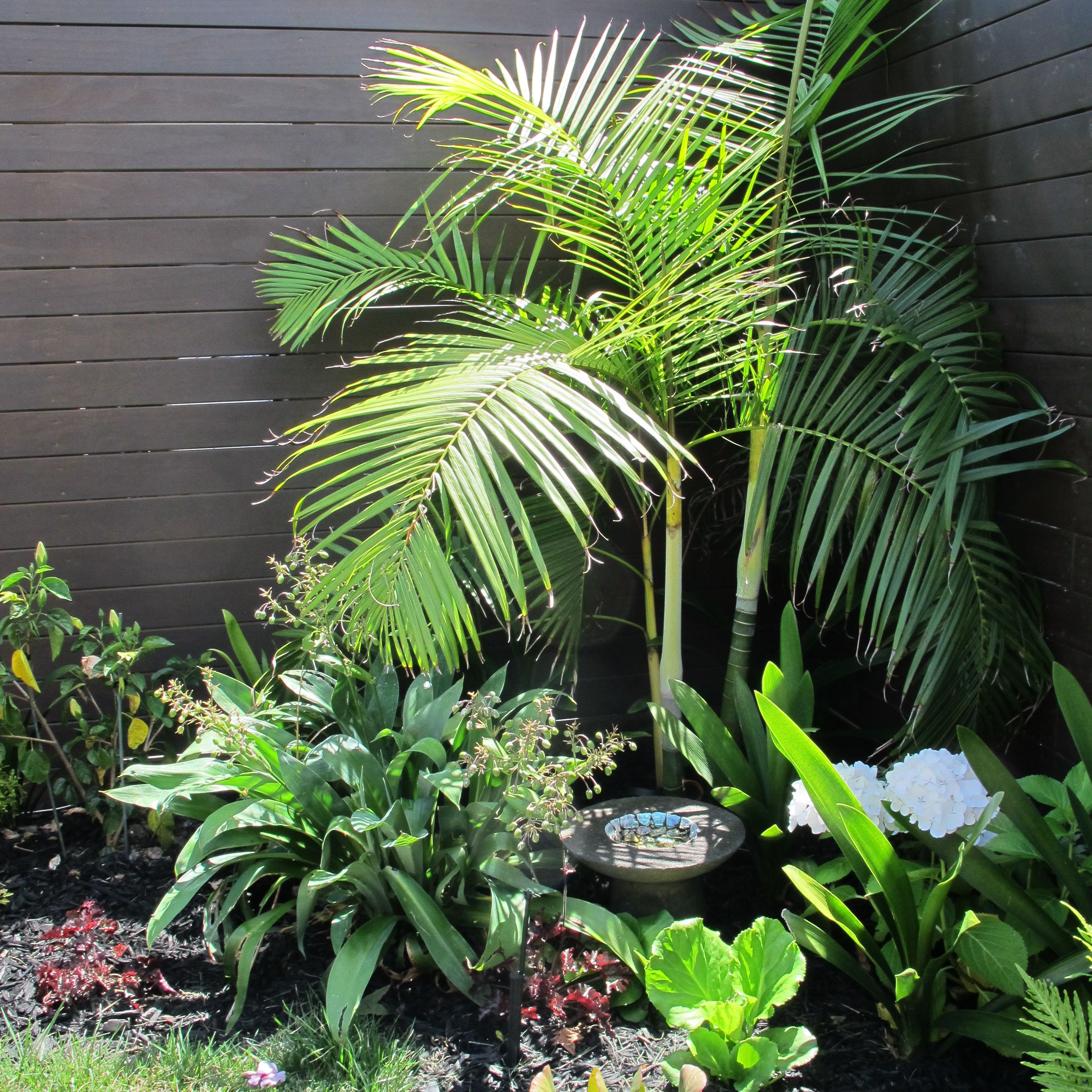 Dypsis Baronii, A Small Multi Trunked Palm Cultivated In A New Zealand  Garden With Native Rengarenga Lily (Arthropodium Cirratum), Clivia And  Hydrangea ...