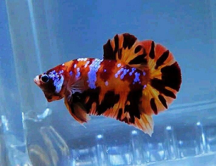 Leopard Nemo Galaxy