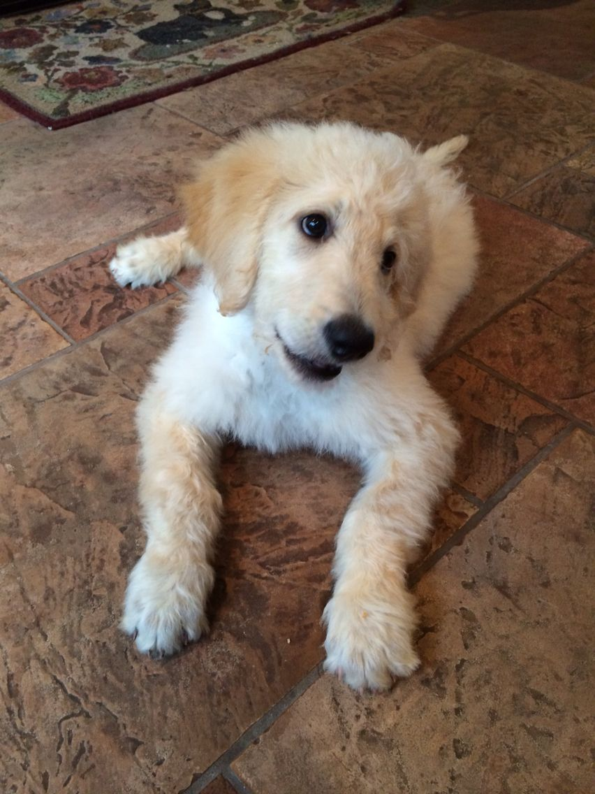 Toby Jack, 11 weeks, Gildendoodle