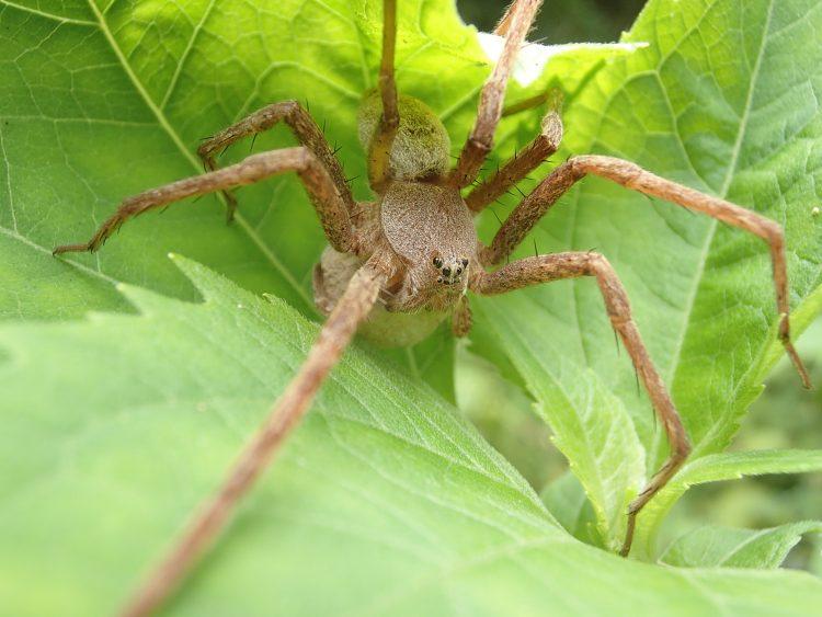 草原のハンター蜘蛛 イオウイロハシリグモ アシダカグモ クモ 蜘蛛