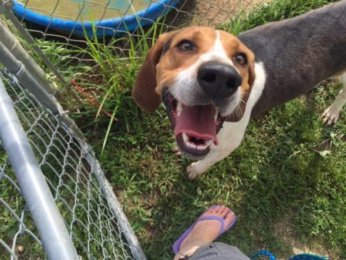 Adopt Bogey On Treeing Walker Coonhound Walker Coonhound Animal Shelter