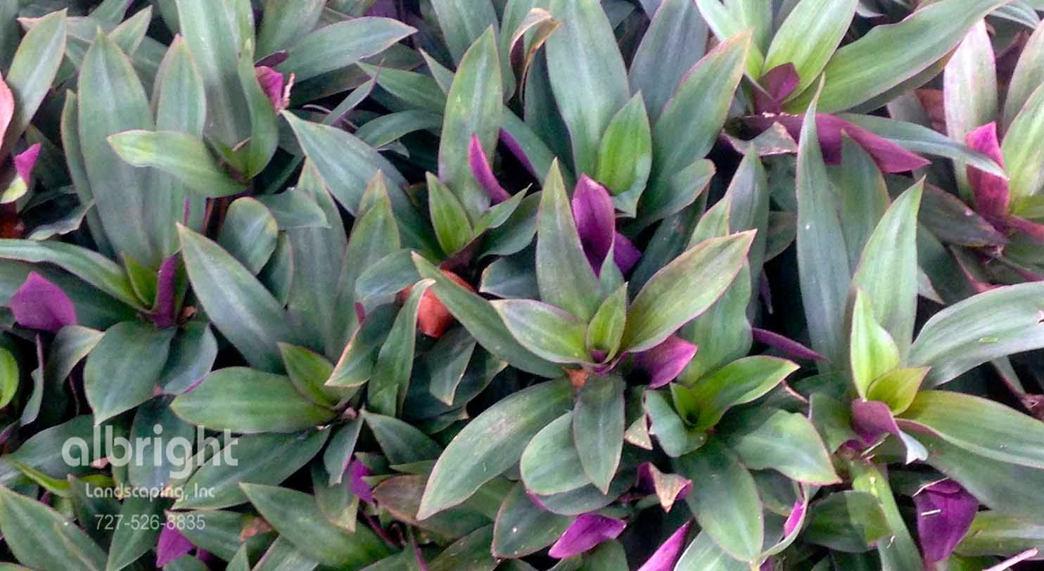 Oyster plant purple ground cover plant tropical low for Low maintenance bushes for shade