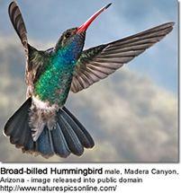 36++ When do hummingbirds come to michigan ideas