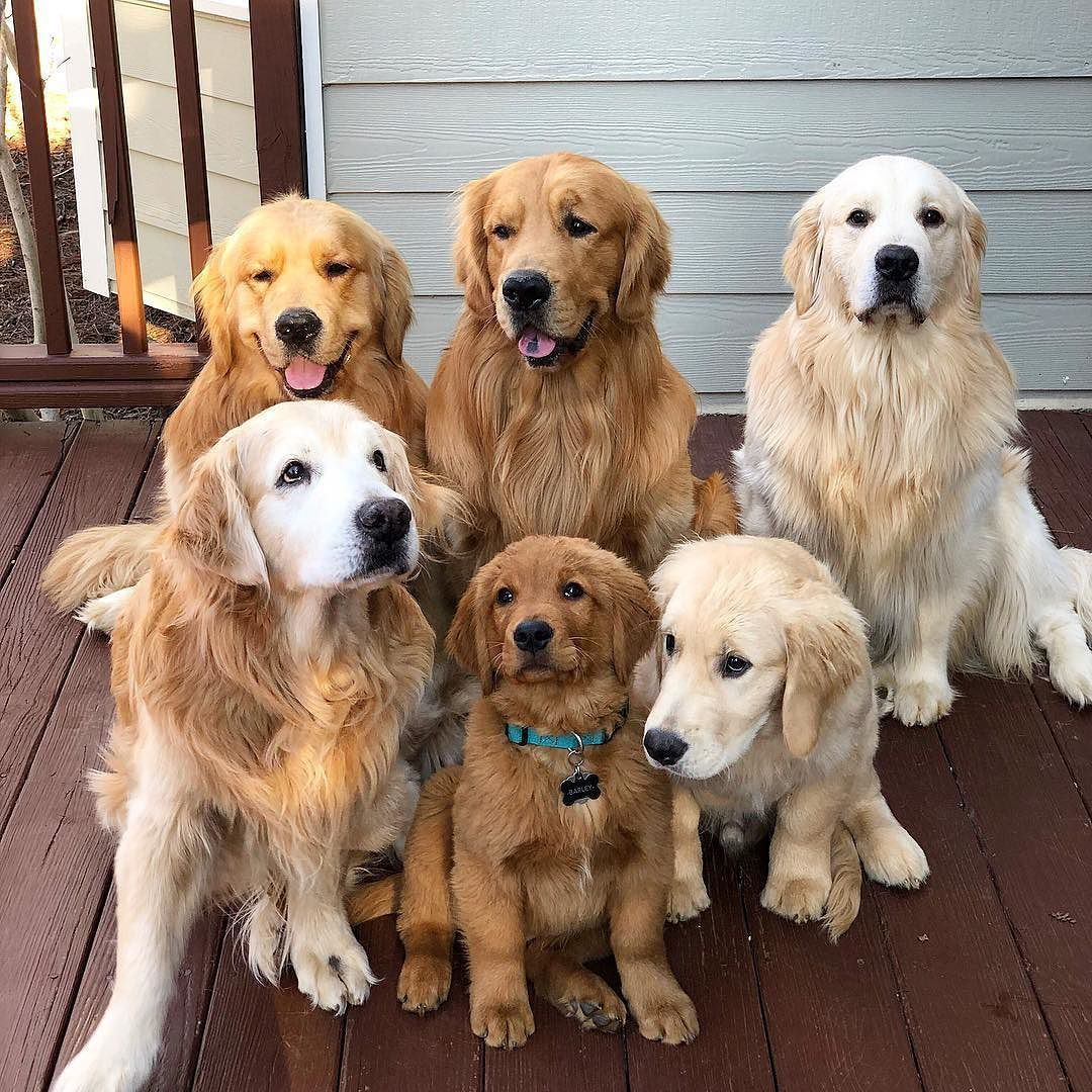 50 Perfect Images Of Everything Cute Dogs Golden Retriever Dogs