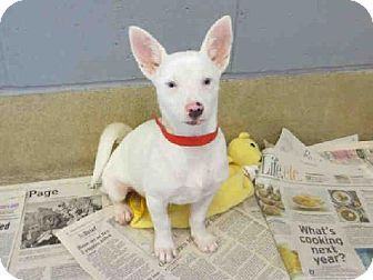 Raleigh, NC Chihuahua Mix. Meet HOSS, a puppy for