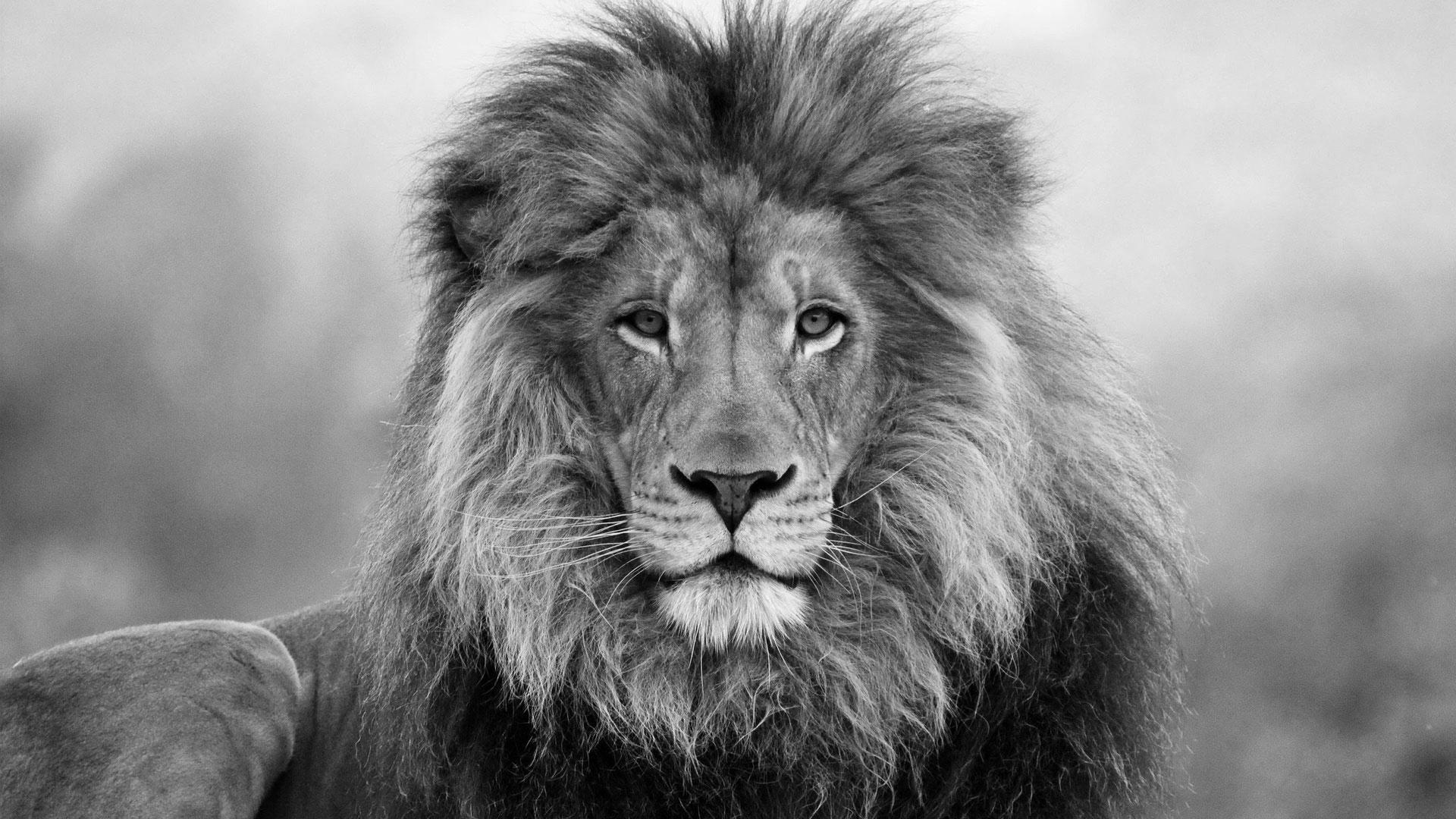 lion face flash Google Search Lion pictures, Lion