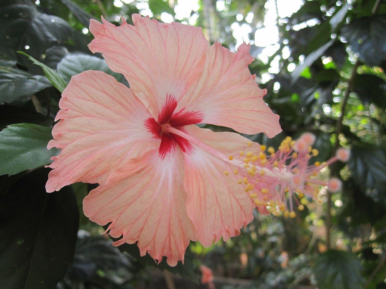 Hibiscus From Kerala India 05 Hibiscus Wikipedia Hibiscus Showy Flowers Flowers