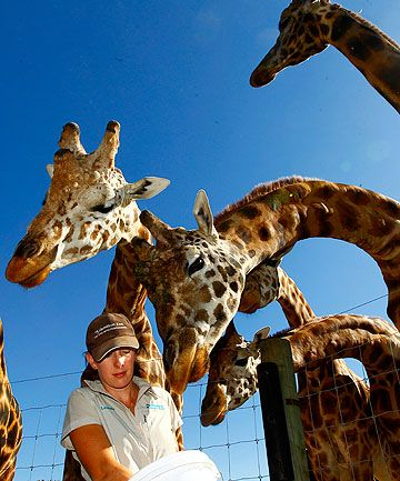 Hamilton Zoo S Giraffes On Safe Ground Zoo Giraffe Giraffe Zoo