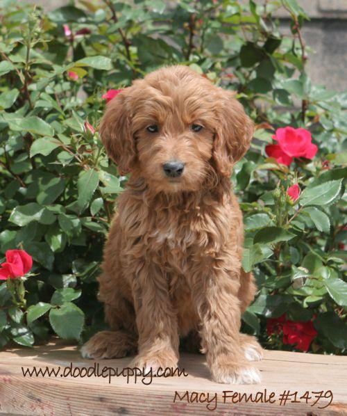 Irish Doodle Google Search Schnoodle Dog Irish Doodle Doodle Dog