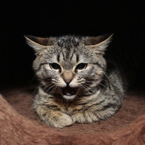 She's adorable when she hisses. #fosteringsaveslives  #fosterkittens  #catsoninstagram  #catsofinstagram  #catsofportland  #catsofig  #cats_of_instagram #catsininstagram  #catlover  #catsrock  #catstagram  #catlady  #adoptdontshop  #adoptasheltercat  #rescuekitty  #shelterkitten  #imfierce by love2foster http://ift.tt/1OpecZv
