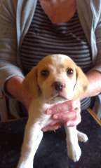 Beagle Puppies Available Now Puppies For Sale Bendick