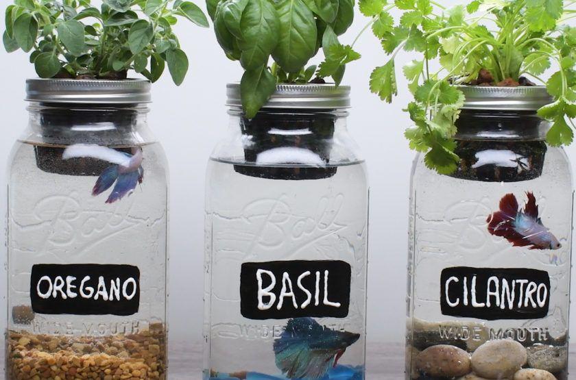 Common betta fish diseases mason jar herbs aquaponics