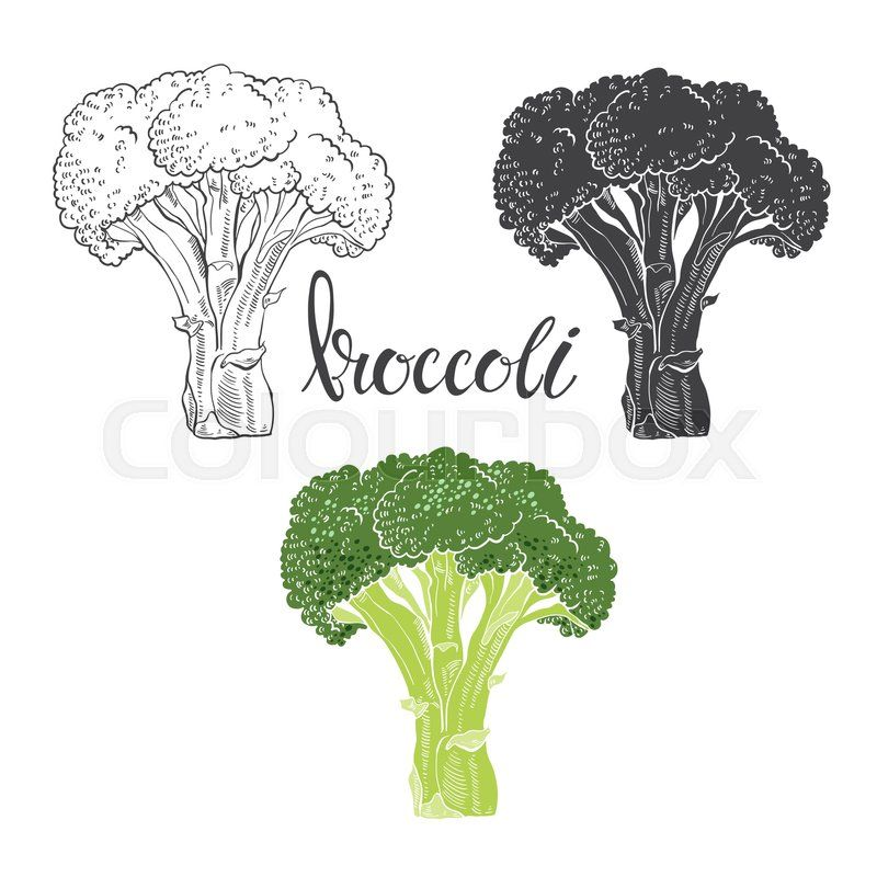 stock vector of broccoli vector illustration sketch on a white background isolated vector hand draw illustration vector illustration illustration sketches pinterest