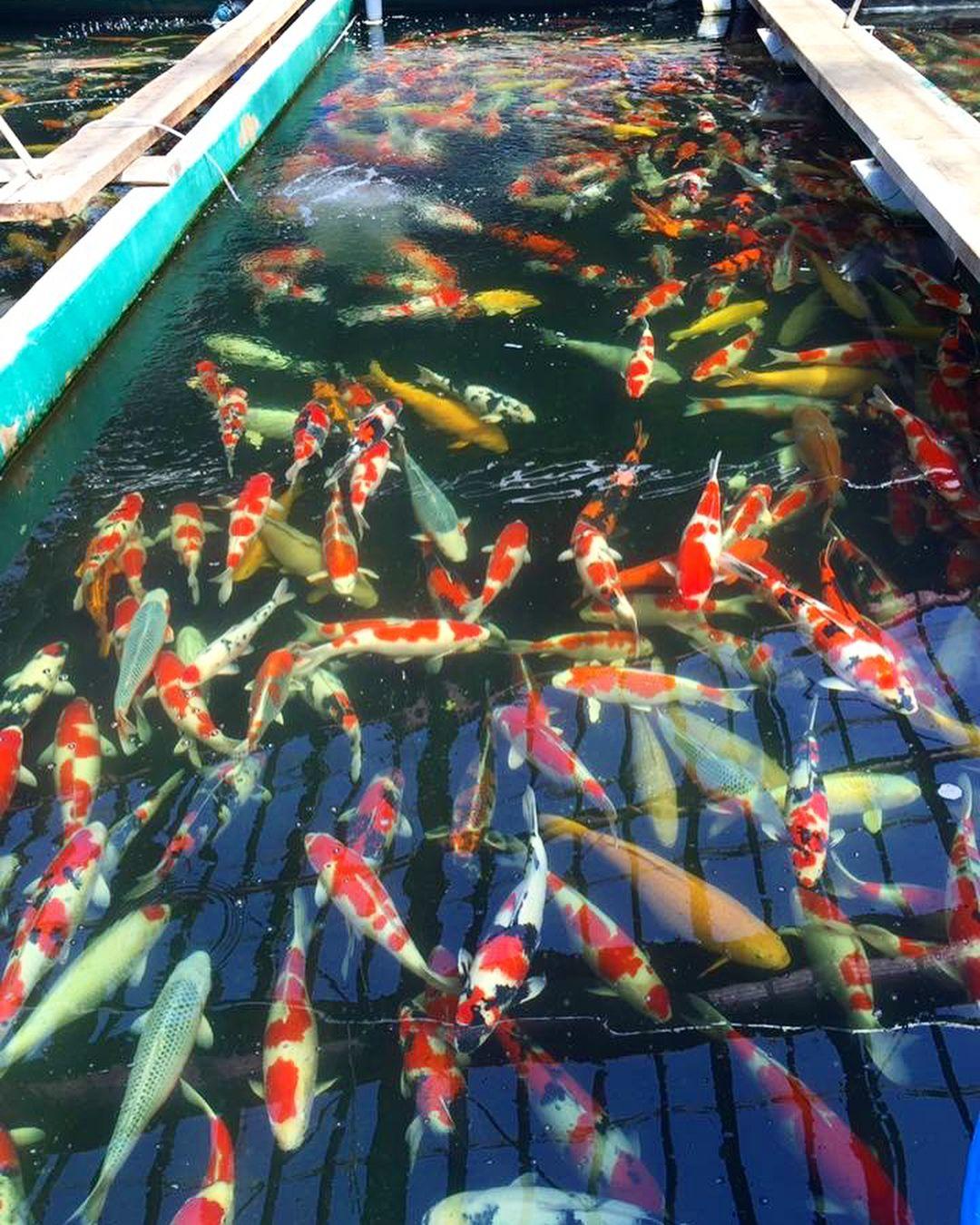 Would You Like To Select Some Koi At Marusei Koi Farm Comment Below Petsofinstagram Koi Japan Niigata Nishikigoi So To K Koi Fish Ponds Koi Pond