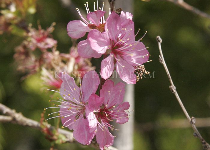 Hiromi Dwarf Flowering Cherry Tree An Unusual Small Cherry Cultivar Which May Be Grown As A Shru Cherry Tree Varieties Flowering Cherry Tree Flowering Trees