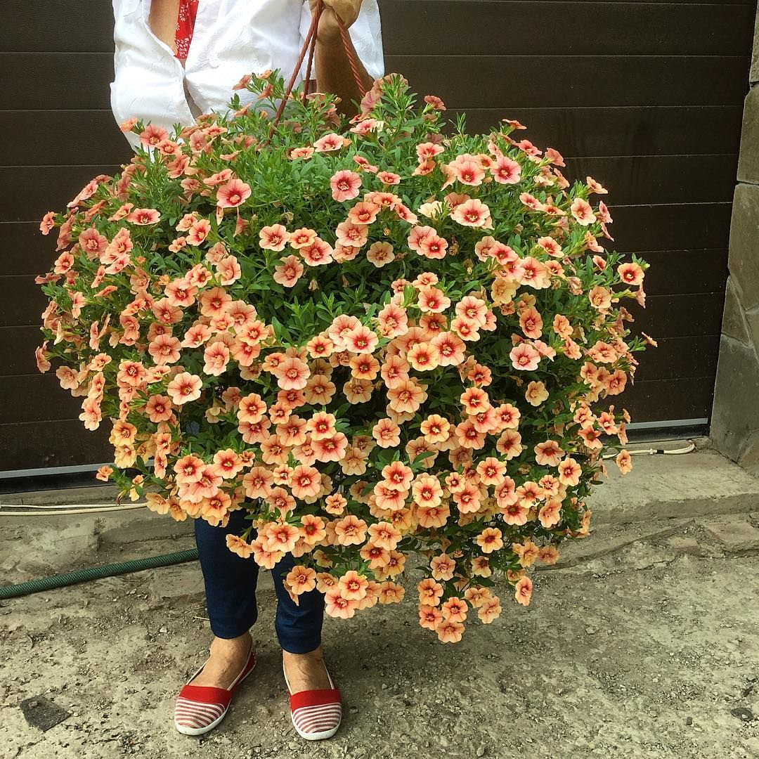 Ampel petunia is one of the popular types of garden flowers 7