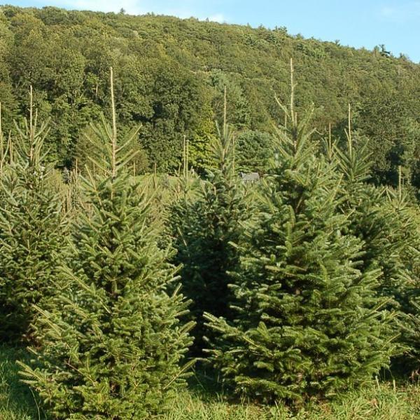 Christmas Tree Farms | New Hartford CT