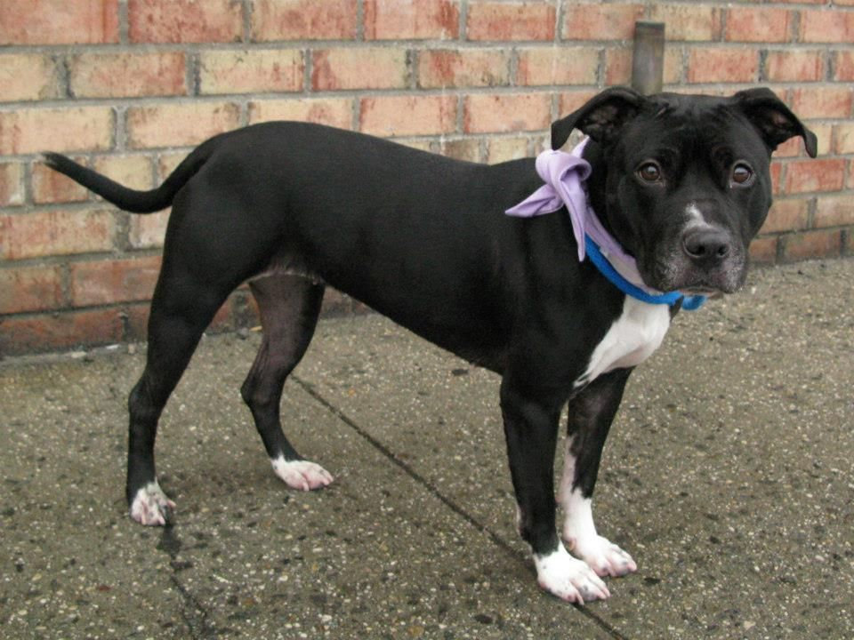 Safe Brooklyn Center Leighla A0954338 A Private Donor Has Graciously Offered To Pay 200 To The New Hope Partner Pitbull Mix Dog Adoption Pet Adoption