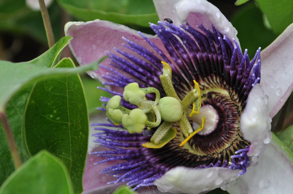 The Passion Flower A Perfect Tropical Vine For Growing Indoors Passion Flower Passion Vine Growing Indoors