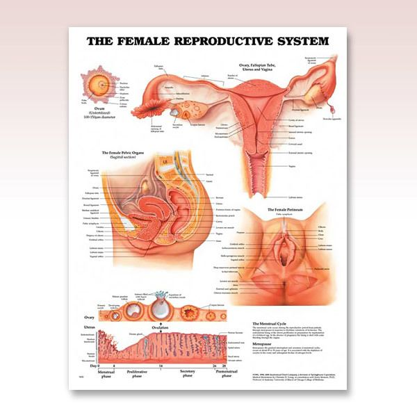 Ob gyn the female reproductive system anatomy poster illustrates ob gyn the female reproductive system anatomy poster illustrates internal and external views sexual organs including ovaries fallopian tube ccuart Choice Image