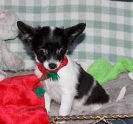 Snappy Chihuahua Puppy For Sale In Manheim Pa Lancaster